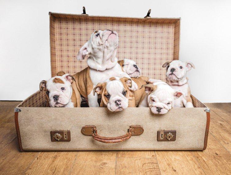 Reinrassige Englische Bulldogge Welpen mit Lieferung direkt nach Hause