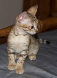 savannah  Kitten mit Papieren